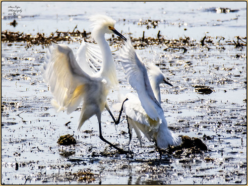 avians avianart avianphotography birds birdsasart birdphotography egrets nature naturephotography outdoors outdoorphotography snowyegret wildlife wildlifephotography