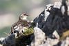 Rock Ptarmigan (Alps) (Lagopus muta helvetica), female by piazzi1969