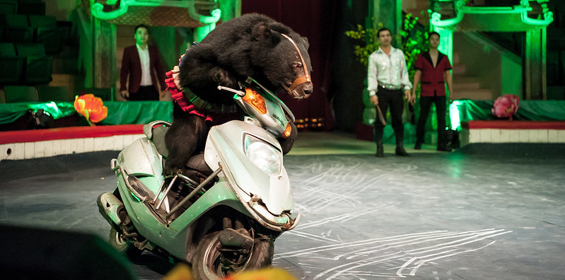Moon bear riding a motorbike