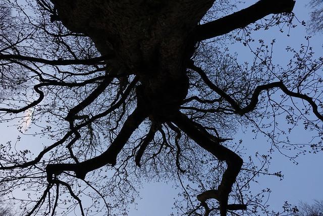 Kastagne boom (Links van de boom parhelium)