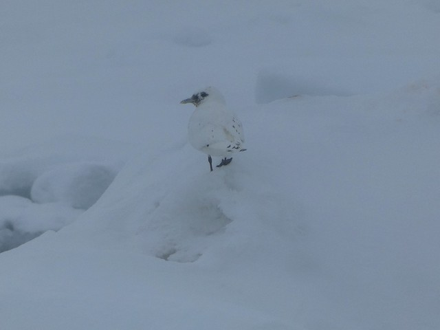Gaviota marfil en Svalbard (Noruega)