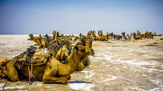 Caravana esperando la carga de sal, Dallol, Danakil, Ethiopia (día 2)