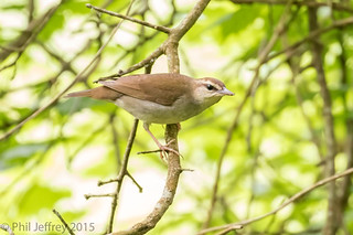 TX: Swainson's Warbler | by phil.jeffrey