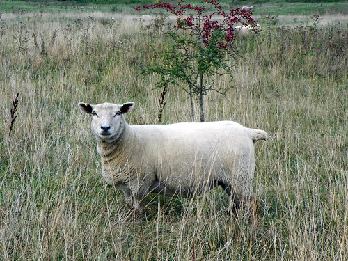 Sheep (Ovis aries), Sacombe | by Peter O'Connor aka anemoneprojectors