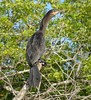 Neotropic Cormorant by tapaculo99