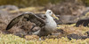 Juvenile Waved Albatross (endemic) by tickspics 