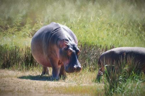 hippo in the reeds | by steveslater195