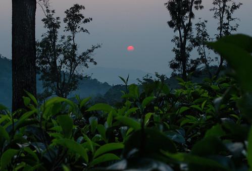 morning sun green leaves sunrise tea plantation srilanka hopton