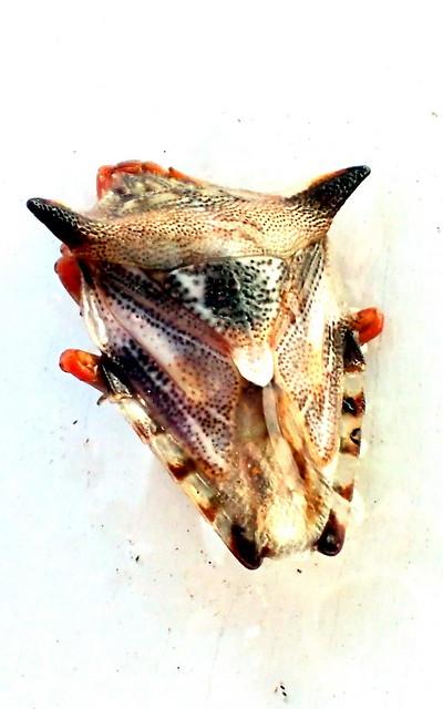 Spined Stink Bug - Pentatomoidea