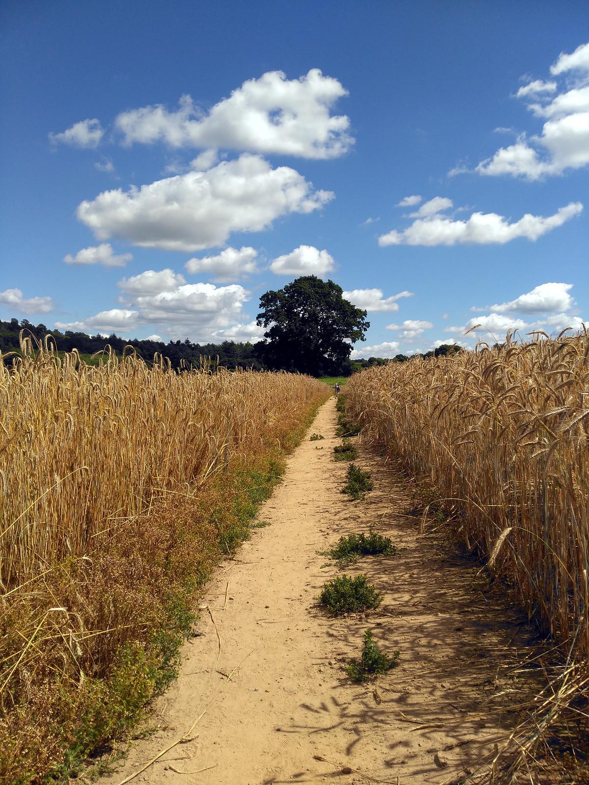 Path through corn