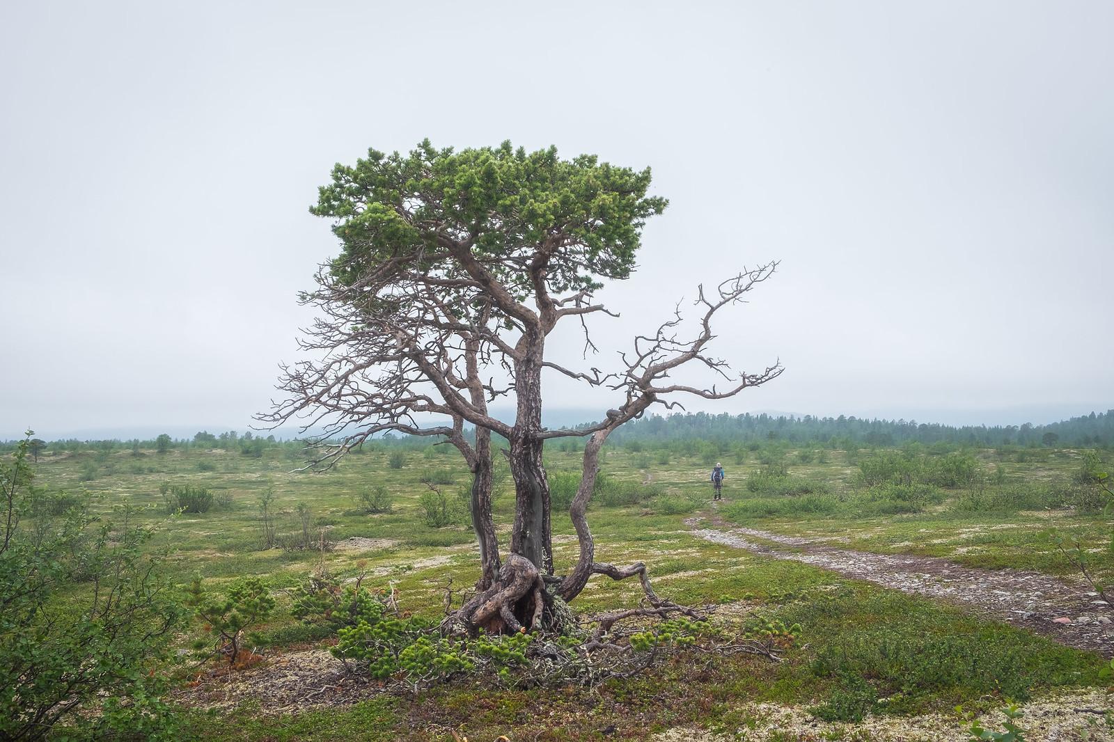 Old pine tree in Stabbursdalen in mist.