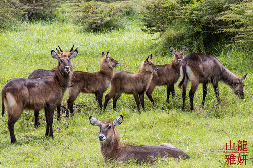 Waterbuck (Kobus ellipsiprymnus) | by DragonSpeed