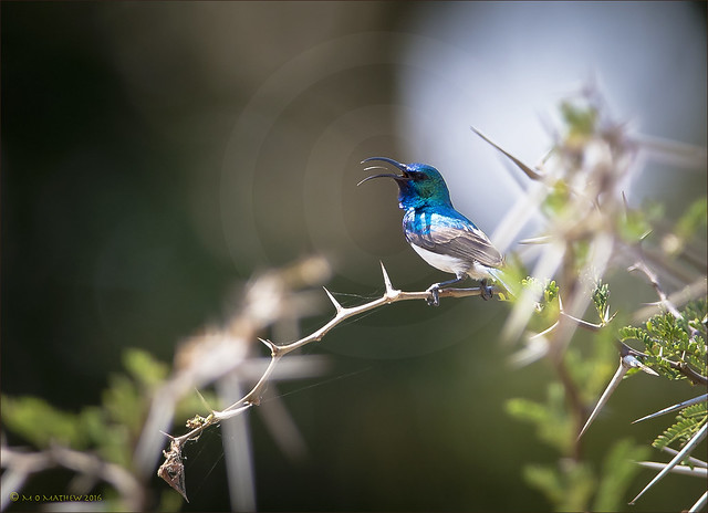 Male Variable Sunbird...Kruger National Park, S.A.