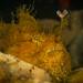 hairy anglerfish by AlistairKiwi