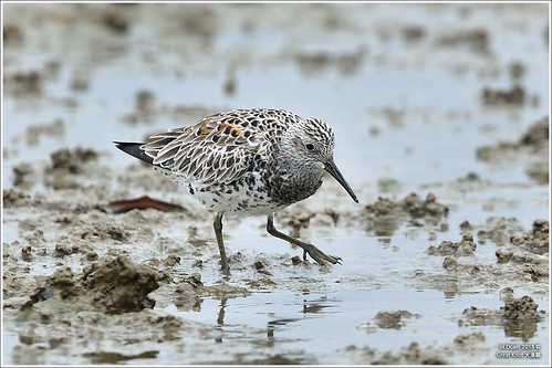 Great Knot | by oLDcaR