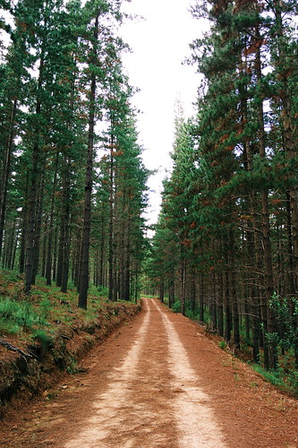 africa autumn trees nature pine forest southafrica outdoors track natural hiking path african hike dirt trail pinetrees forestpath dirttrack countrylife gravelroad pineforest swellendam overberg countryliving forestwalk jeeptrack