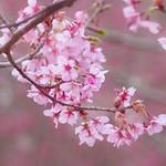 修善寺寒桜  Shuzenji-wintercherry