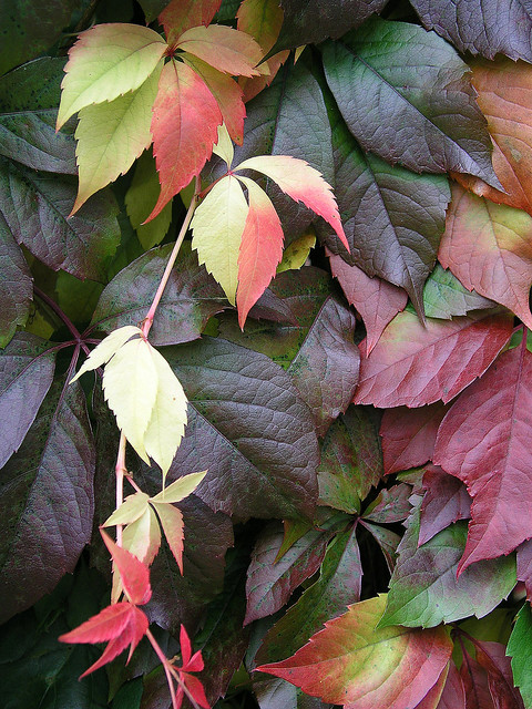 Virginia Creeper, young vine in autumn colours