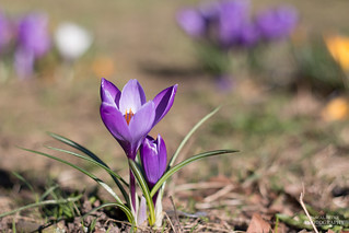 The spring shows crocuses | by diablopb