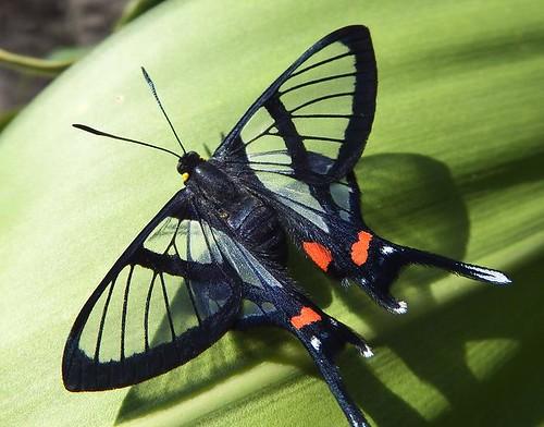 Sylphina Angel  Butterfly (Chorinea sylphina)