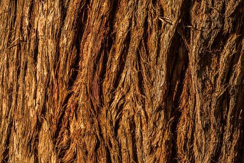 ca california macro flickrphotowalk vasonalakecountypark treetrunk losgatos bark losgatoscreektrail macromondays nature eucalyptus macrotextures santaclaracountyparks unitedstates us