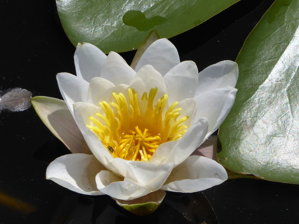 White Water Lily P1070082 2 Ciska Van Geer Flickr