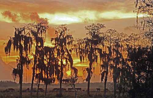trees sun sunrise gold golden cow cattle florida stuart pasture martincounty southfork southforkhighschool