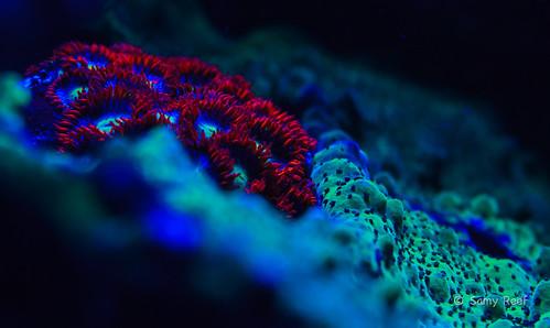 Zoanthus   by Samy Reef
