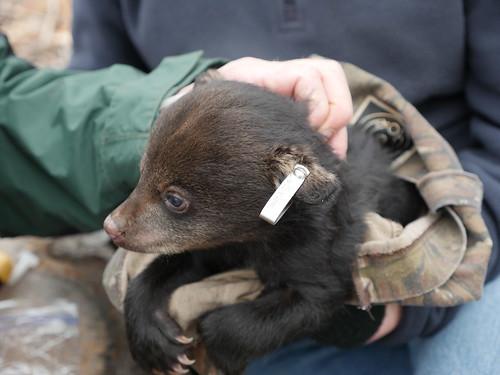 Photo of bear cub with tagged ear
