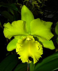 the 2015 pacific orchid exposition, Rhyncholaeliocattleya Sung Ya Green 'Junten' hybrid orchid, winner of best in show Cattleya Alliance by commercial exhibitor award