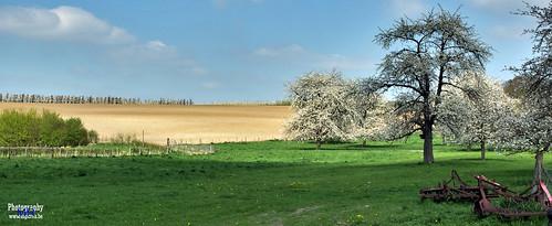 Blossom Trees @ Heers, Mettekoven | by www.digicrea.be