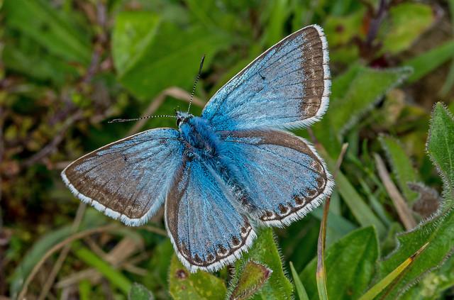 DSC2041  Chalkhill Blue..