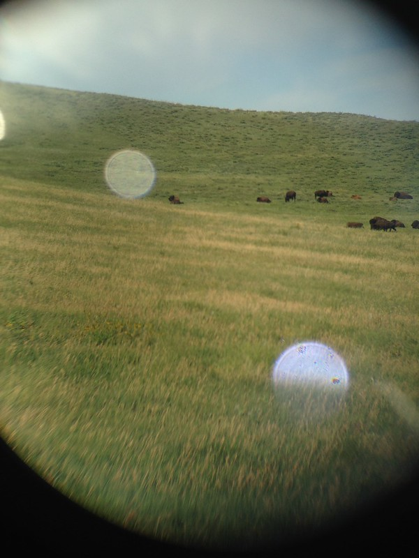 Binocular view of bison at Custer State Park