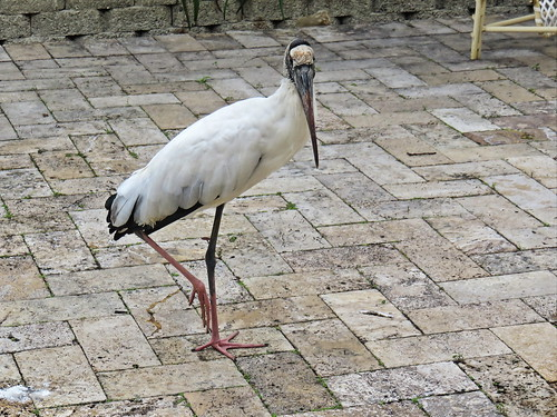 Wood Stork on patio 2-20150120