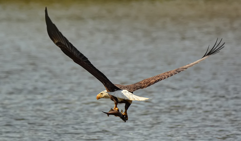 One That Almost Got Away...The Eagle, Not the Fish