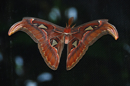 Giant Atlas Moth, Victoria Butterfly Gardens, Brentwood Bay, Vancouver Island, British Columbia