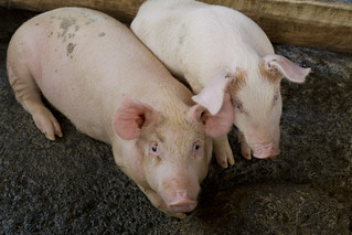 The piglets