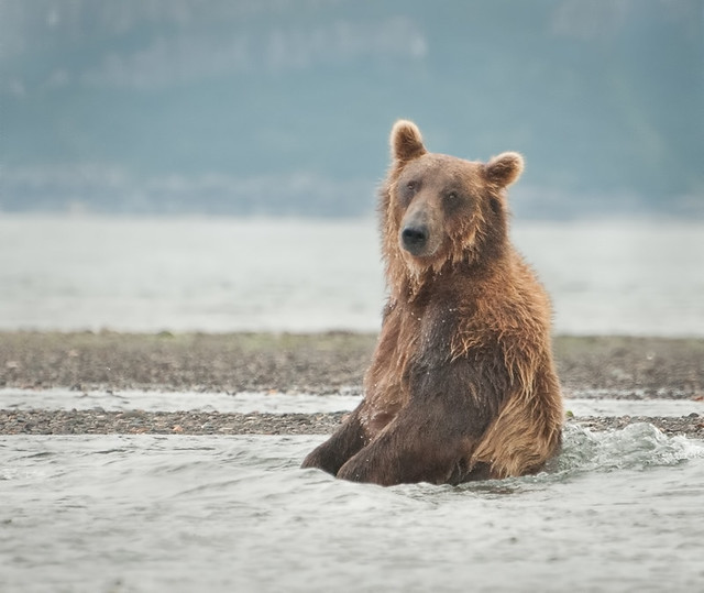 Grizzly in the Spa