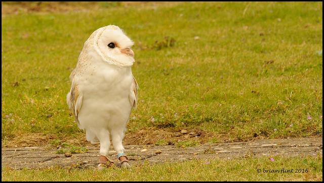 Barn Owl looking upwards