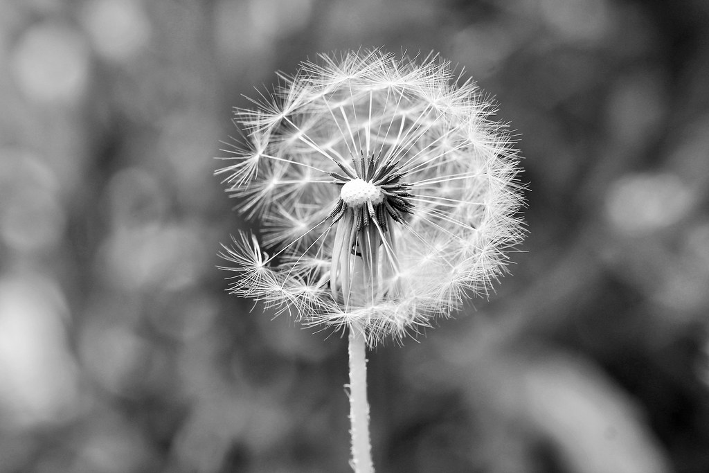 Dandelion in Grey