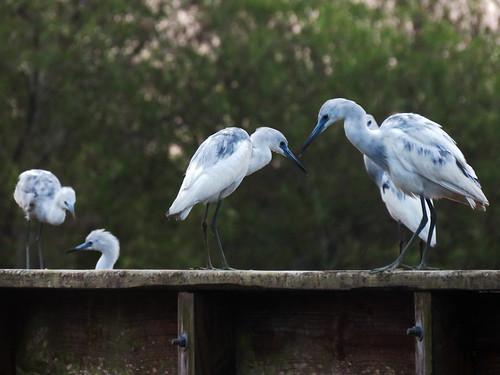 Little Blue Heron (Egretta caerulea)   by magnificentfrigatebird