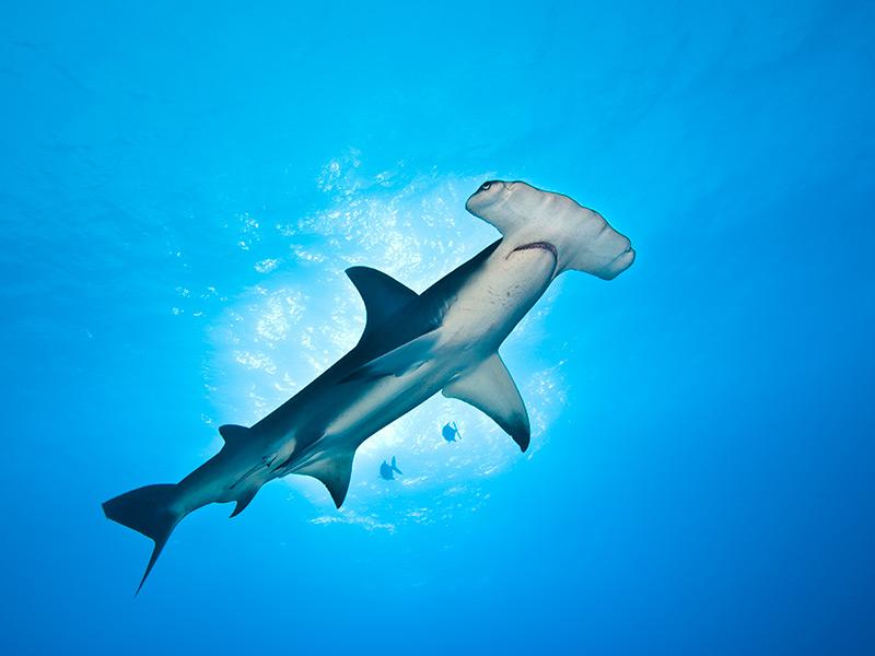 八鰭ㄚ髻鮫(Great Hammerhead Shark)。攝影:Alex Mustard;圖片來源:WWF