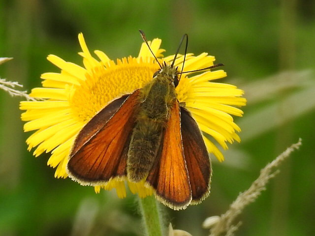 Skipper butterly (not sure which one)