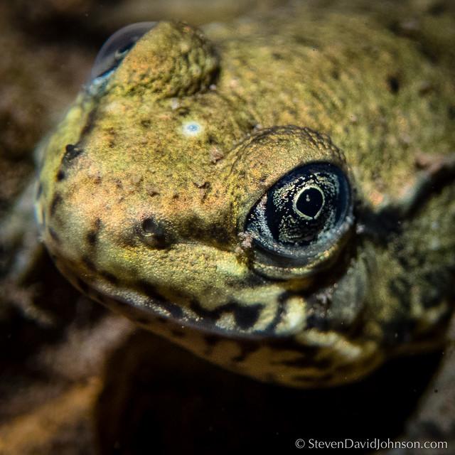 Green Frog metamorph showing parietal eye, Rawley Springs, Virginia
