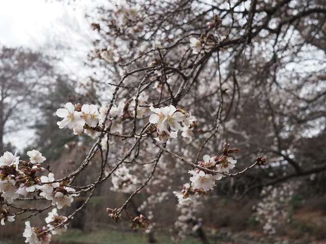 日, 2018-04-01 13:13 - Brooklyn Botanic Garden