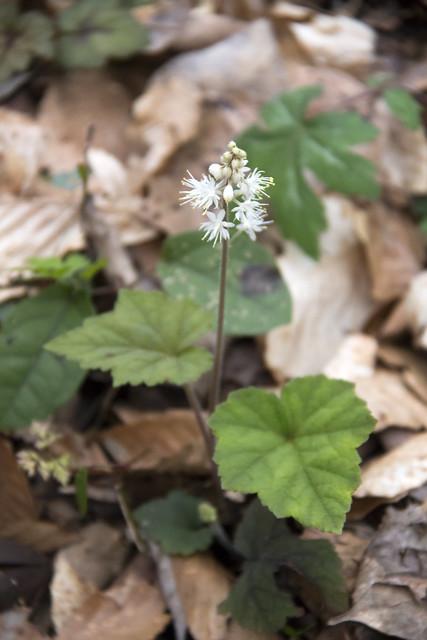 Tiarella cordifolia, Wheeler Farm trail, Fall Creek Falls SP, Van Buren County 1
