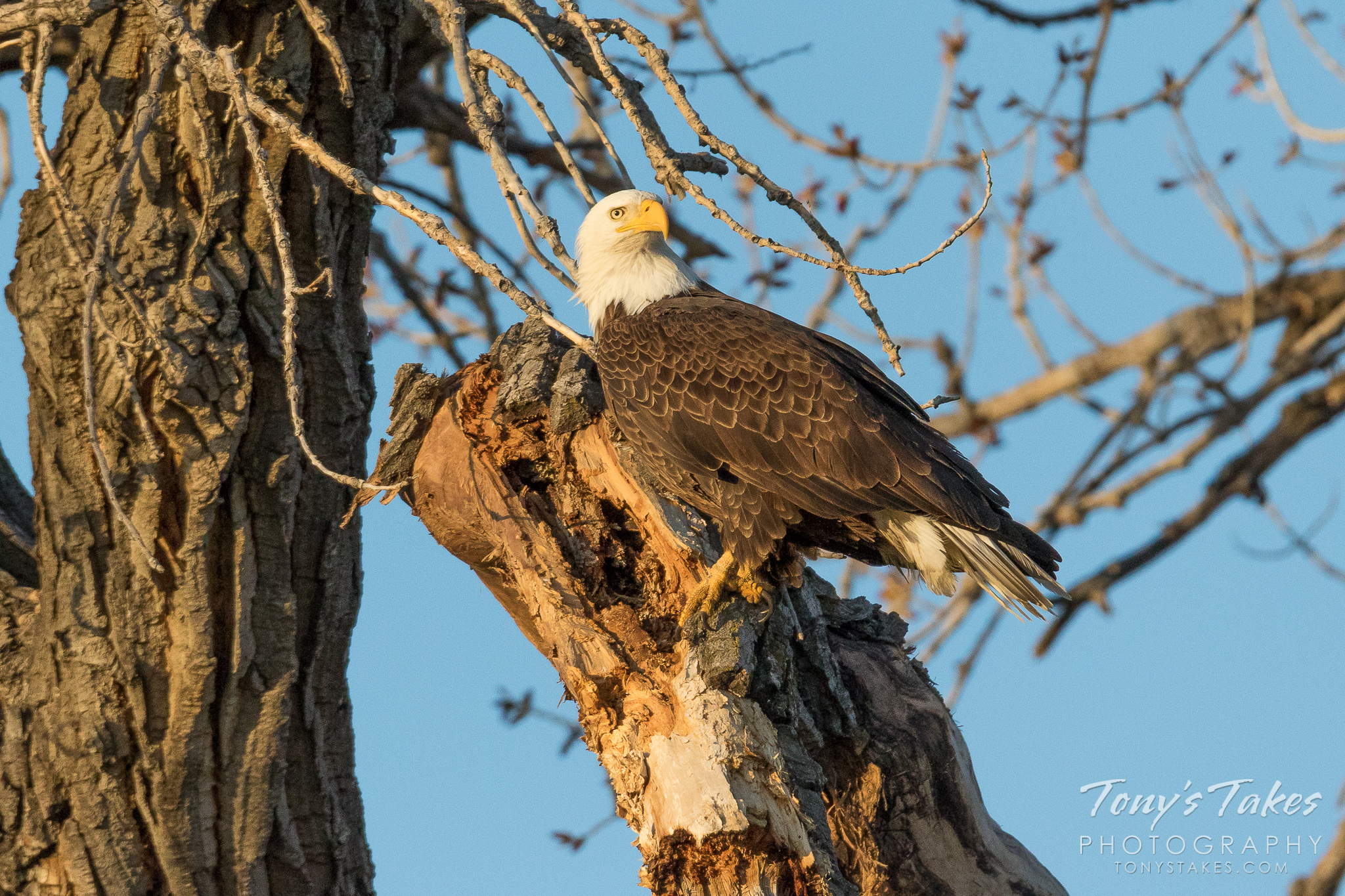 Bald Eagle bathed in the early morning light