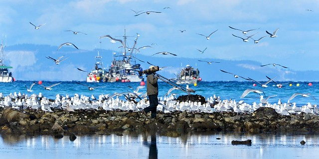 herring fishery free-for-all . . .