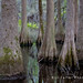 Bald Cypress and Tupelo Gum Trees, Santee S.P., South Carolina by zellerw0