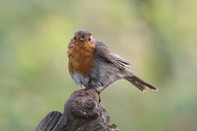 Robin After a bath!😀